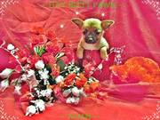 Chihuahua - Fawn w/Black Mask Short Hair Male - ~ NOAH  Read more: htt