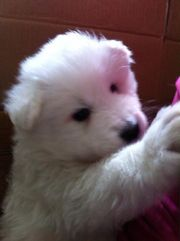 Gorgeous Male and Female Samoyed Puppies Available..